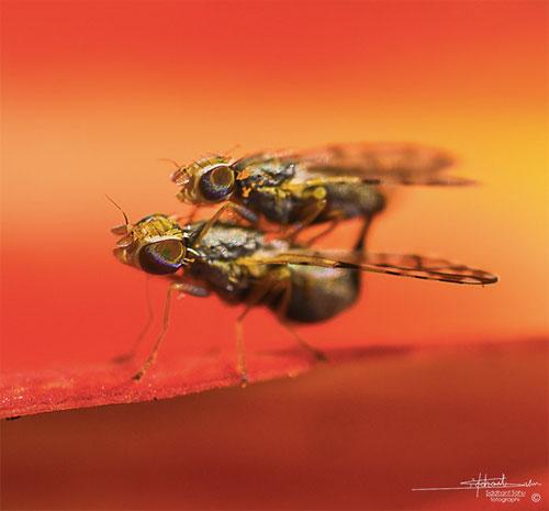macrofly